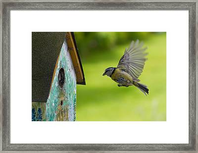 A Busy Blue Tit Mum Framed Print