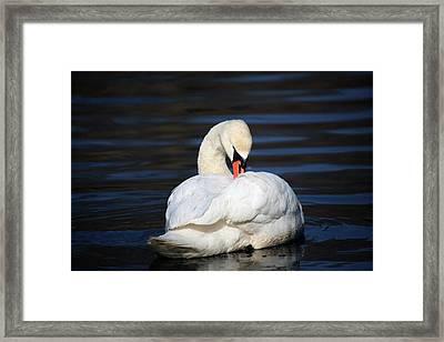 A Busy Swan Framed Print