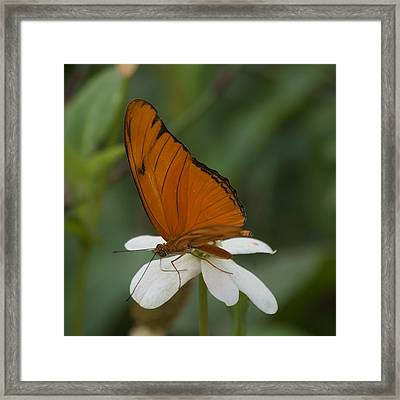 A Butterfly Lands Upon A White Flower Framed Print by Susan Heller