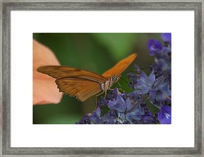 A Butterfly Sipping Nectar 1 Framed Print by Susan Heller