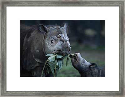 A Captive Sumatran Rhinoceros Framed Print by Joel Sartore