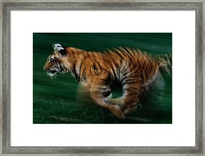 A Captive Young Tiger Runs Framed Print by Michael Nichols