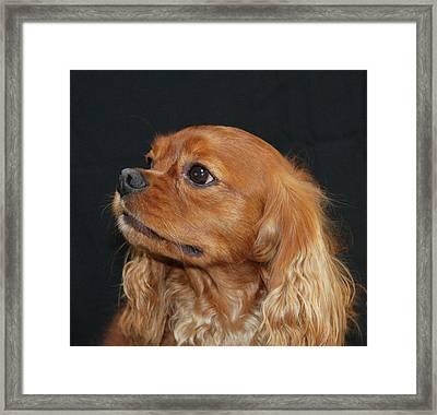 A Caramel Look Framed Print by Daphne Sampson