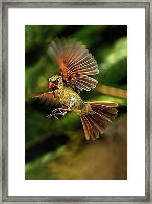 A Cardinal Approaches Framed Print