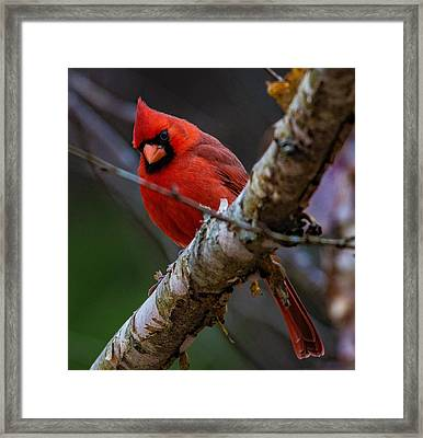 A Cardinal In Spring   Framed Print