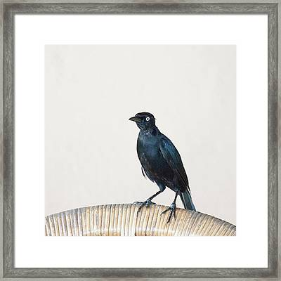 A Carib Grackle (quiscalus Lugubris) On Framed Print