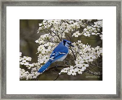 A Chatty Bluejay Framed Print