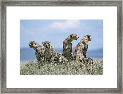 A Cheetah Family Framed Print by David Pluth