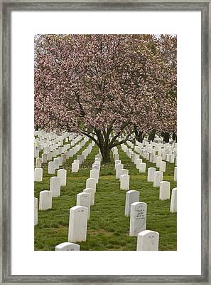 A Cherry Tree Blooms In Arlington Framed Print