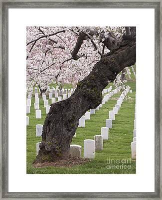 A Cherry Tree In Arlington National Cemetery Framed Print by Tim Grams