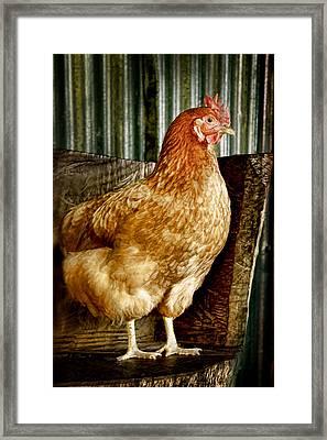 A Chicken Named Rembrandt Framed Print