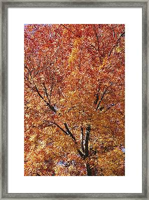 A Claret Ash Tree In Its Autumn Colors Framed Print by Jason Edwards