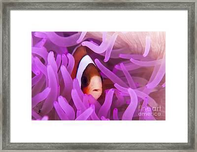 A Clarks Anemonefish Snuggles Amongst Framed Print