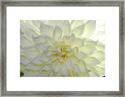 A Close Up Of A White Dahlia Flower Framed Print by Raul Touzon