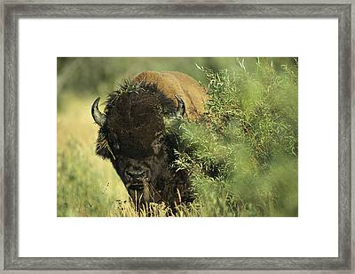 A Close-up View Of An American Bison Framed Print