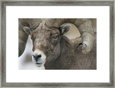 A Close View Of A Male Bighorn Sheep Framed Print by Tom Murphy