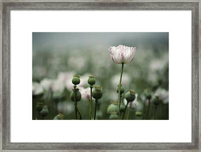 A Close View Of Opium Poppy Flowers Framed Print