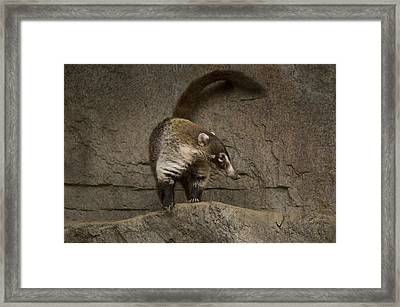 A Coatimundi At The Henry Doorly Zoo Framed Print