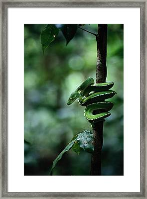 A Coiled Green Tree Python Framed Print by Sam Abell