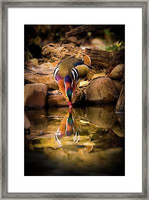 A Cold Drink - Mandarin Drake Framed Print by TL Mair