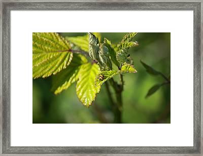A Colour Ladybug Framed Print