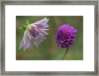 A Conversation Between Dahlias Framed Print by Angie Vogel