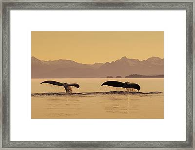 A Couple Of Humpback Whales Lift Framed Print by John Hyde