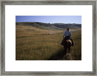 A Cowboy Herds Cattle On His Ranch Framed Print