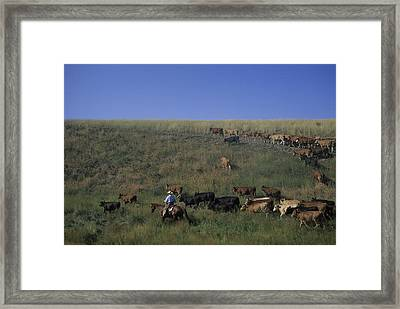 A Cowboy Rounds Up His Herd To Take Framed Print
