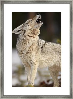 A Coyote Howls To Its Mate Framed Print by Drew Rush