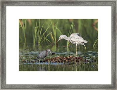 A Crawfishing Lesson Framed Print by Ronnie Maum