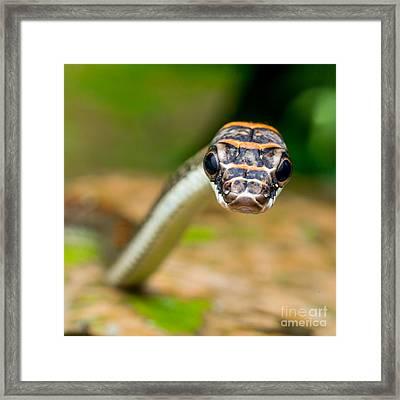 A Curious Tree Snake Framed Print