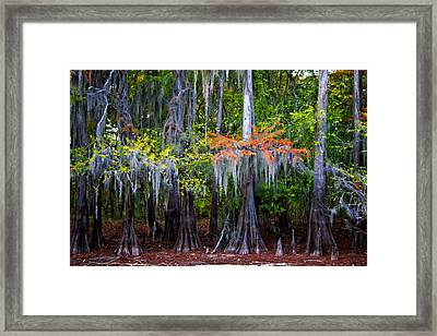 A Cypress Fall Framed Print by Lana Trussell