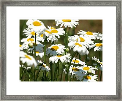 A Daisy A Day Framed Print