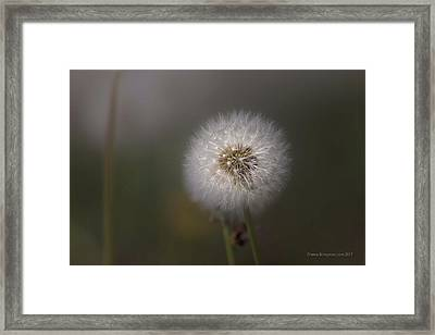 Framed Print featuring the photograph A Dandelion by Lora Lee Chapman