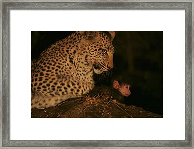 A Day-old Baboon Befriends A Young Framed Print by Beverly Joubert