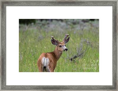 A Deer In Yellowstone National Park  Framed Print