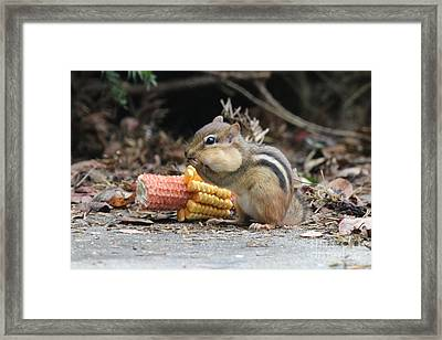A Delicious Treat - Chipmunk Eating Corn Framed Print