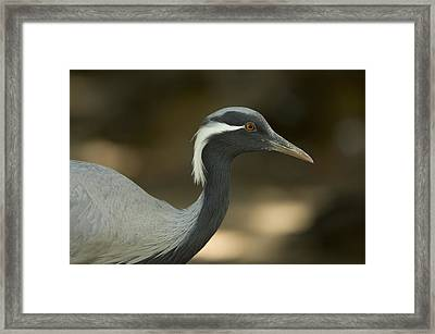 A Demoiselle Crane Anthropoides Virgo Framed Print by Joel Sartore