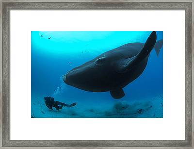 A Diver Has A Close Encounter Wih Framed Print by Brian J. Skerry