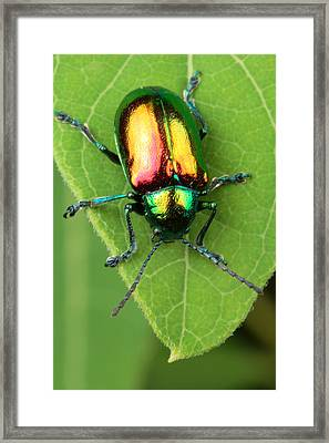 A Dogbane Leaf Beetle, Framed Print