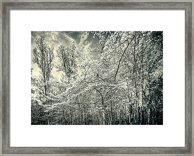 A Dogwood In The Springtime Woods Black And White Framed Print by Mother Nature