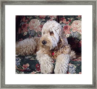Framed Print featuring the photograph A Doodle In Trouble by Diane Daigle