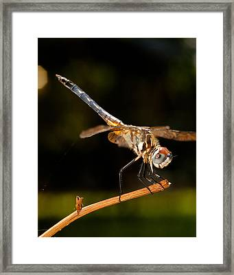 A Dragonfly Framed Print
