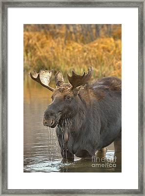 A Drool Of Satisfaction Framed Print by Adam Jewell