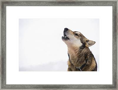 A Dropped Iditarod Sled Dog Howls Framed Print