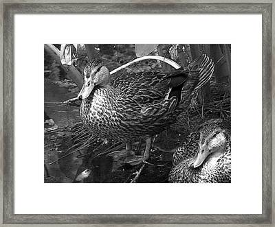 A Ducky Day Framed Print by Amanda Vouglas