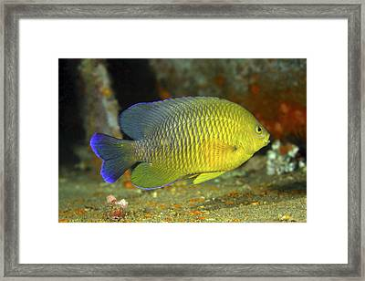 A Dusky Damselfish Offshore From Panama Framed Print by Michael Wood