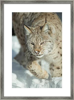 A Eurasian Lynx In Snow Framed Print