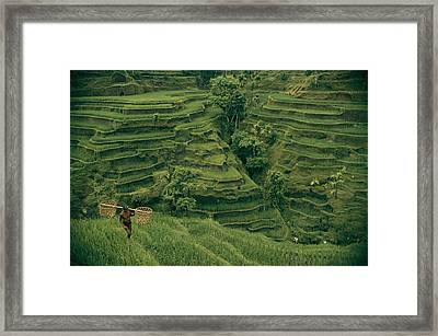 A Farmer Walks Past Terraced Rice Framed Print by Donna K. & Gilbert M. Grosvenor
